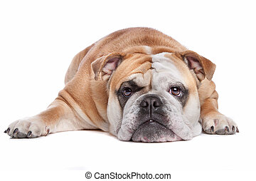 Inglés, Bulldog