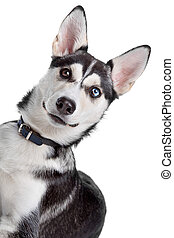 mixed breed dog - mixed breed, American Indian Dog, husky...