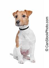 Jack Russel Terrier dog