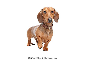 Dachshund, Teckel short haired