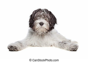 Schapendoes , Dutch Sheepdog, in front of a white background