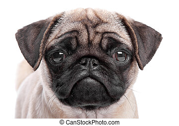 pug puppy in front of a white background