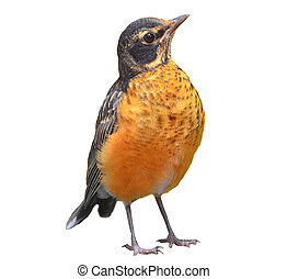 American Robin Isolated on white - American Robin turdus...
