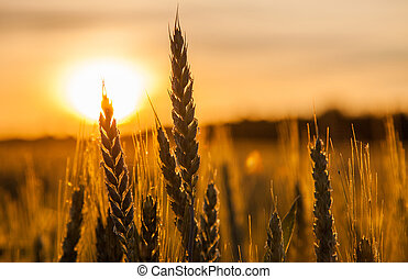 Wheat and Sunrise - Wheat Silhouette against the rising sun