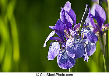 iris flower on a green background
