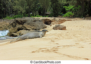 Endangered Hawaiian Monk Seal - Hawaiian Monk seal on the...