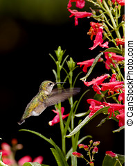 Hummingbird and the flowers. - A small green hummingbird...
