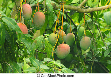 Mangoes on a mango tree - Close up of mangoes on a mango...