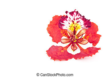 Flame tree flower isolated - Flame tree flower isolated on...