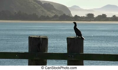 Cormorant on wharf - Otago Peninsula, New Zealand, May 2012...