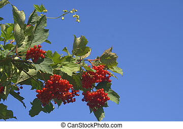 viburnum - Viburnum berries and leaves against the blue sky
