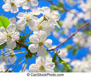 cherry blossoms - Cherry blossoms close up against the blue...
