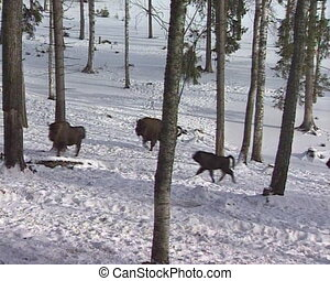 European bison in forest running between in snowy trees in...