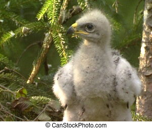 Baby eagle in nest