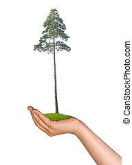 pinho, árvore, mão, Símbolo, natureza,...
