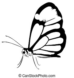 A huge black and white butterfly with closed wings