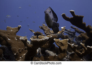Damselfish in Staghorn Coral - a damselfish defending its...