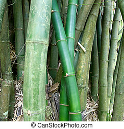 Canes of giant bamboo in the Royal Botanical Gardens