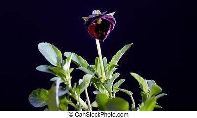 violet flower - timelapse of violet flower opening