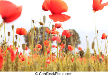 red poppies on white sky with soft light overexposed