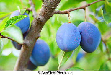Blue plums in the garden