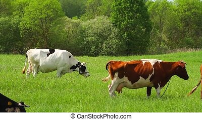 Cows eats grass