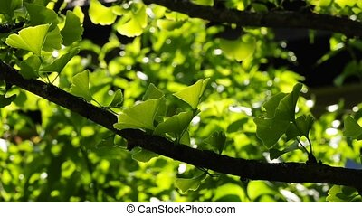 Ginkgo tree medicine tree of Asia