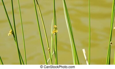 rush,juncus with water background