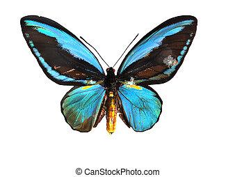 Blue birdwing swallowtail butterfly