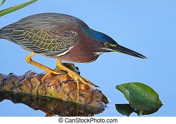 Green Heron Stalking its Prey - Green Heron (Butorides...