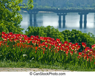 Tulips on the background of the river