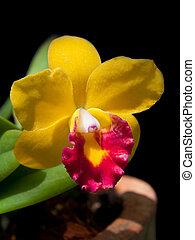 Sophrolaeliocattleya Jungle Beau hybrid cattleya relatives...