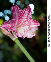 Pink and white star lily (Hippeastrum reticulatum...