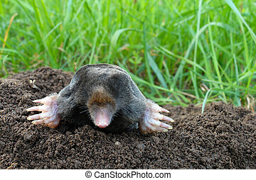 Mole and molehill on garden - Photo of mole and molehill on...