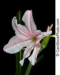 White and pink star lily (Hippeastrum reticulatum, Family:...
