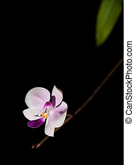 Phalaenopsis lowii beautiful compact orchid and pure species...