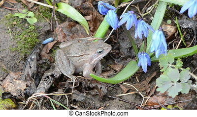 frog european common and wind in the flowers