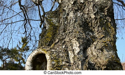old birch trunk with hollow in spring