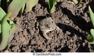 frog Pelobates fuscus dig a hole in the garden ground
