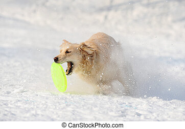 retriever catching disk in snow