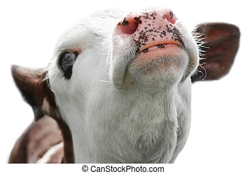 Farm animal. Close up portrait of little cow isolated on...