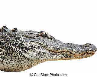 Alligator Head  - An american alligator isolated on white
