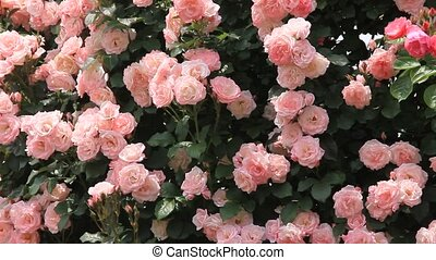 rose - I took many pink roses.