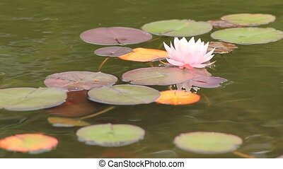 water lily - I took the water lily which bloomed in the...