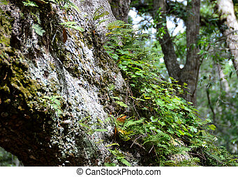 Live Oak Tree Bark - Live oak tree bark showing plant grown...