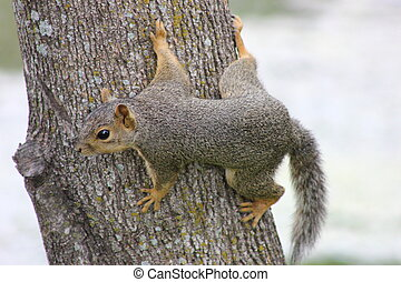 Eastern Fox Squirrel Camouflage - Eastern Fox squirrel using...