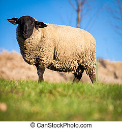 Suffolk black-faced sheep Ovis aries grazing on a meadow