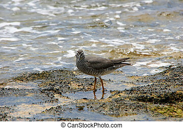 Shorebird in Shallow Ocean Waters of Kauai Hawaii