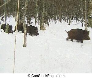 Wild boars walk snow - Wild boars walk on snow in winter....