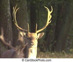 Deer impressive horns - Deer in forest with impressive...